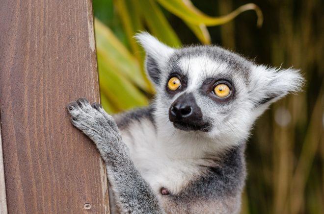 Un lémurien, l'un des symboles de Madagascar.