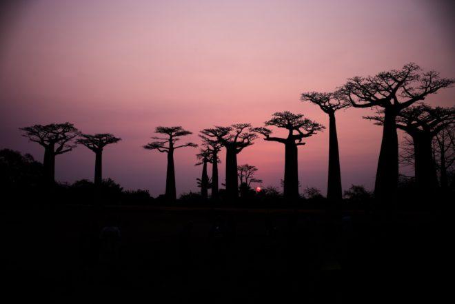 Baobabs, Madagascar.