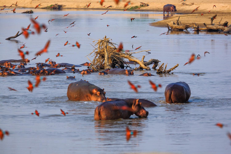 Hippopotames dans le South Luangwa National Park, en Zambie.
