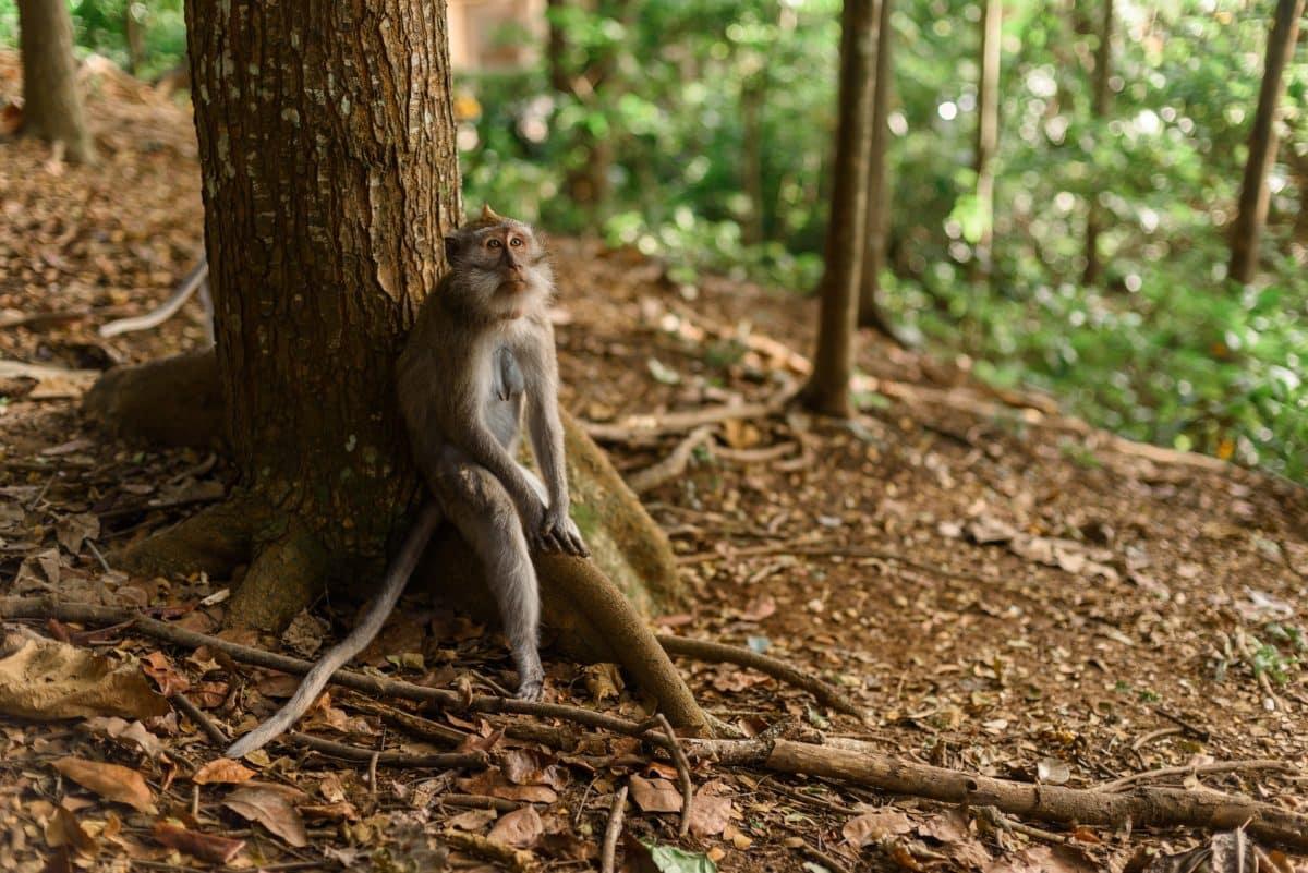 Un singe dans une réserve à Bali, Indonésie.